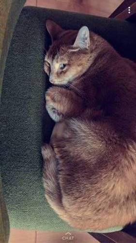 Abyssinian Cat Denver